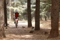 מבחן אופני הרים, קנונדייל ג\'אקיל 2012. בסינגל ביריה לפעמים חייבים גם לדווש - במצב XC - אבדן הכוח במתלים מזערי, אפשר להכנס לתנוחת דיווש בפחות משניה בזכות המושב ההידראולי - וזווית המזלג המתחדדת עוזרת להימנע מלחבק עצים (אפילו ארזים נפלאים כמו בצילום). צילום: פז בר