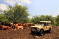 מבחן רכב לנד רובר דיפנדר 110. פרות הבשן בנחל תבור - מווושלם. נראה כמו גלויה מאפריקה. צילום: רמי גלבוע