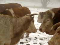 4X4 בשלג. ממוווו שלם! פרות הבשן מחכות לג\'יפאים מהמרכז - הפעם לא על הצלחת של מיטשוס! צילום: רמי גלבוע