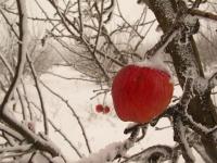 4X4 בשלג. הרוח והשלג הופכים כל תפוח שנותר להרקיב על העץ, למיצג אומנותי יצירתי . צילום: רמי גלבוע