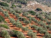 מסלול טיול בעקבות עצי הזית הקדומים של הצפון. מציפורי דרך בקעת בית נטופה לאבטליון. צילום: רוני נאק