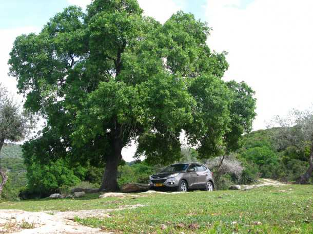 טיולי שטח עם יונדאי IX35. עץ האלון הענקי - אחת מנקודות הציון היפות של מסלול הטיול הזה. צל נעים, רחבת משחקים נוחה ומקום חניה ליונדאי. צילום: רוני נאק