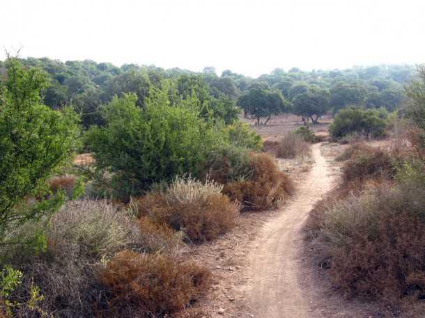 טיול אופניים סינגל ריש לקיש. סינגל זורם מלא ריחות של צמחי בר ובקר הרועה בשטח... צילום: רוני נאק