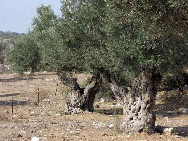 מסלול שטח, טיול מעצי הזית העתיקים בישראל לרוח של אבטליון. העצים האלו ראו את הרומאים צועדים מולם. צילום: רוני נאק