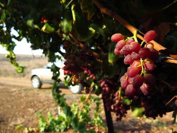 טיול שטח משדה משדה לאמציה דרך כרמים עם ענבים טעימים! צילום: רוני נאק