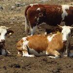 """אחרי האלפקות של צה""""ל האם פרות יגוייסו למשטרת התנועה? נחישות וכוח עצירה יש. ראו וידאו של פעולת אמת שם מתחת. צילום: רוני נאק"""